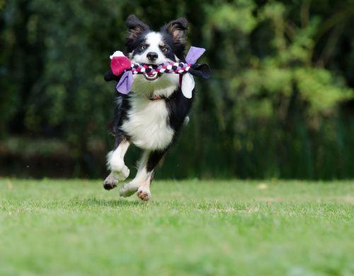 sienos kolis,bėgimo šuo,žaismingas,britų aviganis,šuo,žaisti,naminis gyvūnėlis,trys spalvos,jaunas šuo,pieva,saldus,mielas,grynaveislis šuo