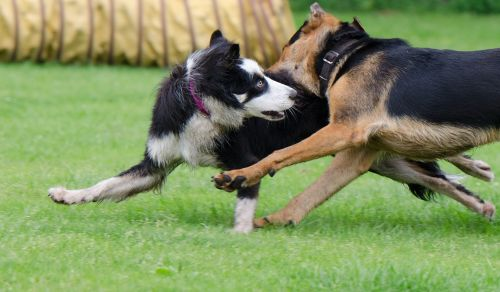 border collie hybrid playing dogs