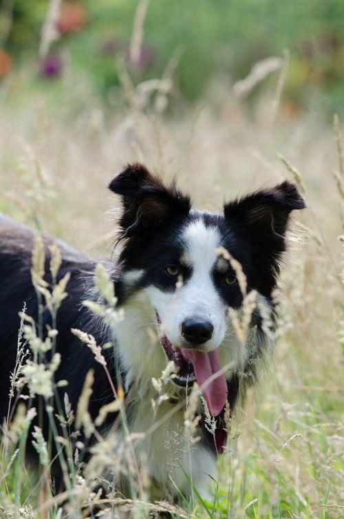 border collie high grass summer