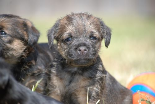 border terrier puppy dog