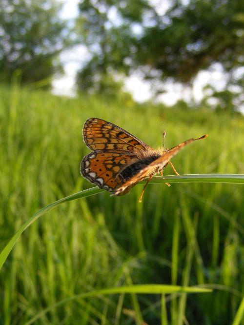 bordered butterfly clossiana