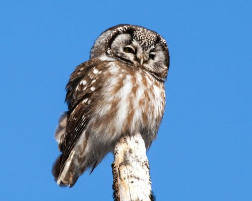 boreal owl perched bird