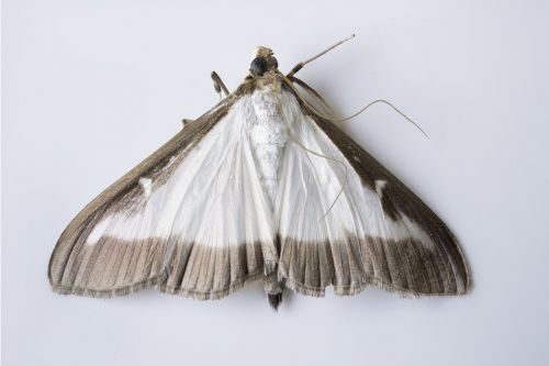 cydalima perspectalis butterfly moth