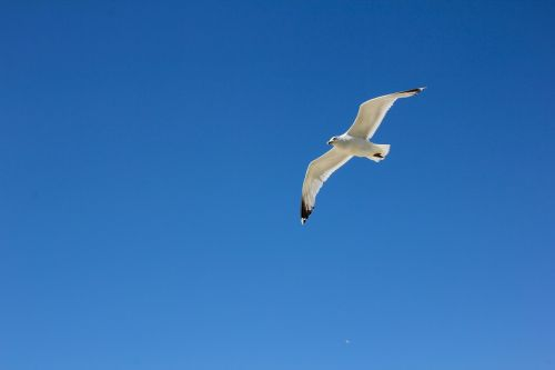 borkum seagull in flight sky