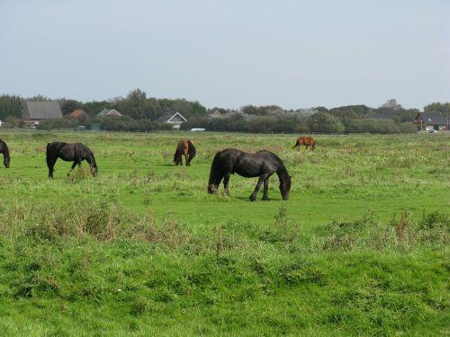 borkum horses friesen