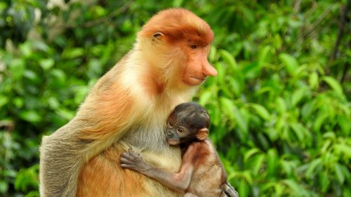 borneo sepilok proboscis monkey
