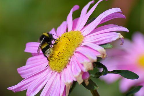 bornholm bee blossom