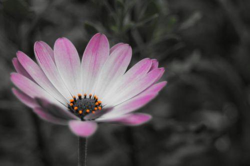 bornholm marguerite osteospermum ecklonis blossom