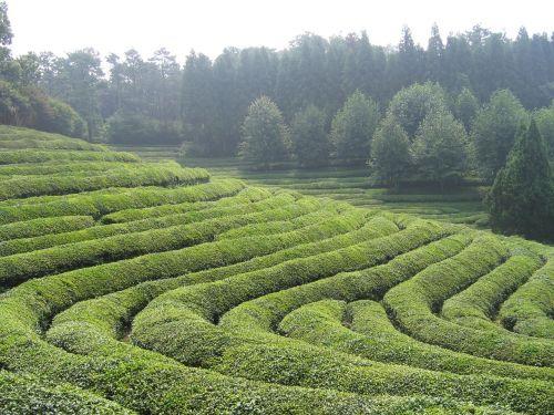 boseong tea green tea plantation