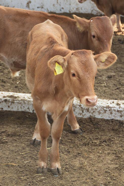 boss taurus farm veal