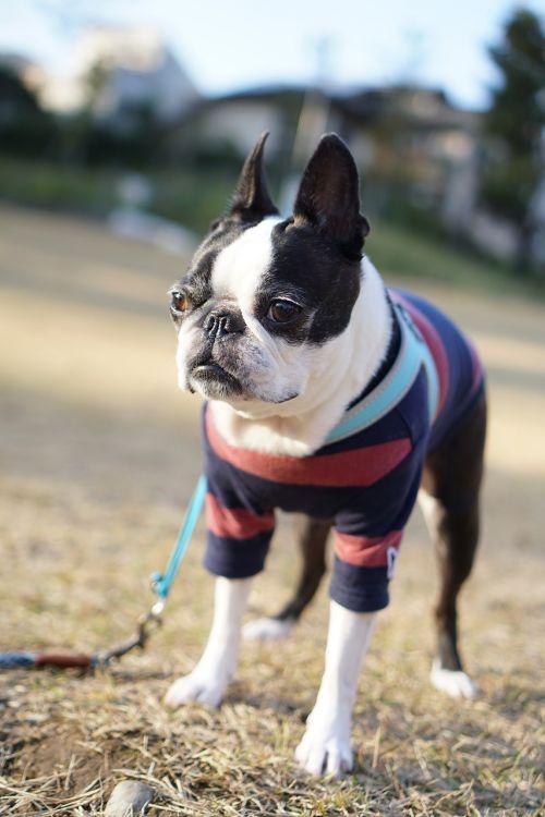 boston terrier pet dog