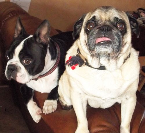 Boston Terrier And Pug