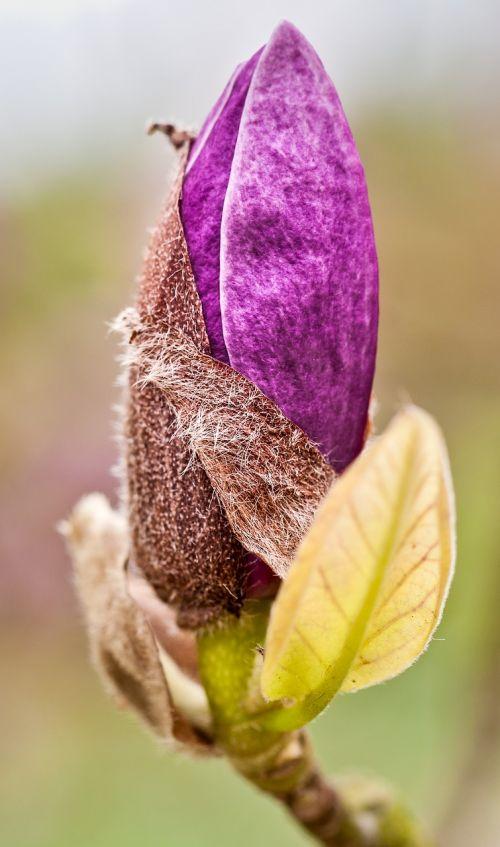 botanikos sodas,gėlė,žiedas,žydėti,sodas,flora,gamta,botanika,makro,botanikos,violetinė,Uždaryti