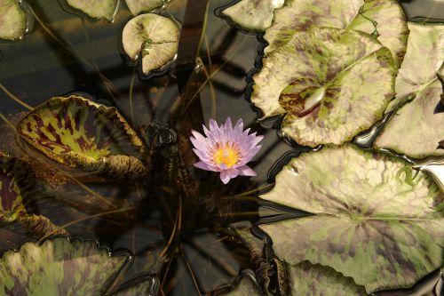 botanical garden augsburg water lily pond