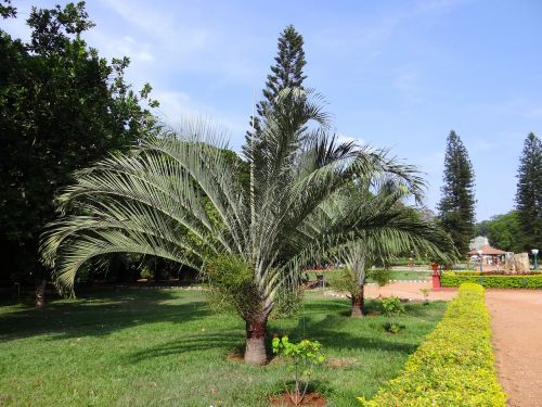 botanical palm garden trees