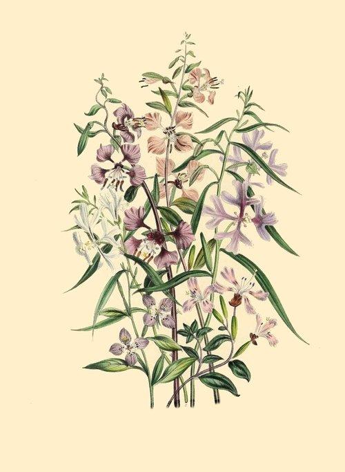 botanical print  antique  natural