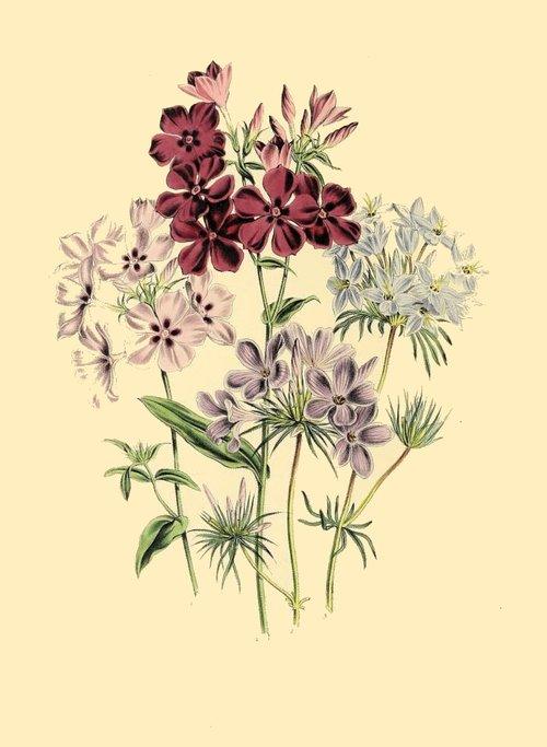 botanical print  antique  flora