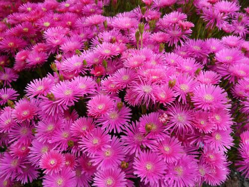 matsubagiku flowers pink