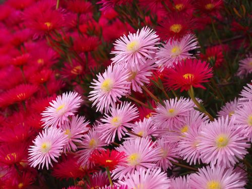 matsubagiku flowers red