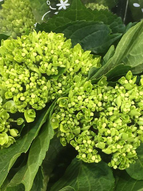 botany hydrangea flower