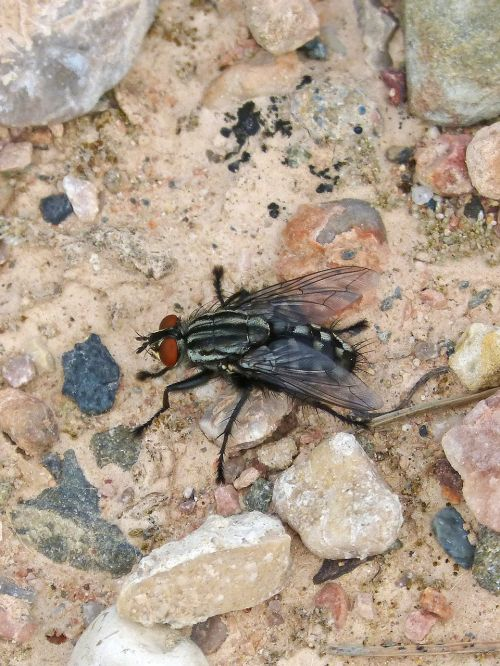 botfly insect nuisance