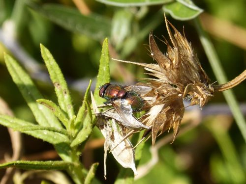 botfly nuisance red fly