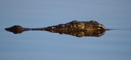 botswana crocodile mirroring