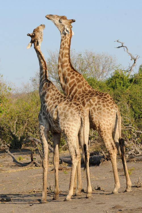 botswana chobe giraffes