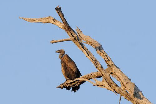 vulture bird botswana