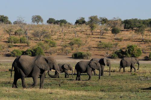 elephant botswana chobe