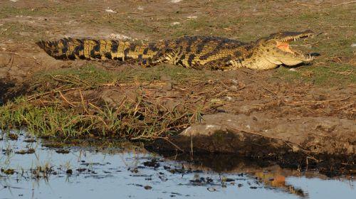 crocodile botswana chobe