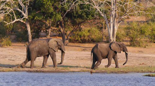 botswana chobe elephant
