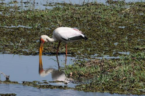 botswana chobe yellow-billed stork