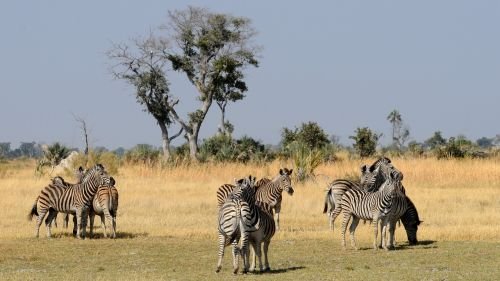 botswana okavango delta zebras
