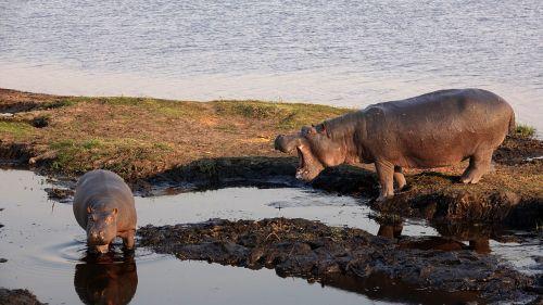 botswana hippos hopo