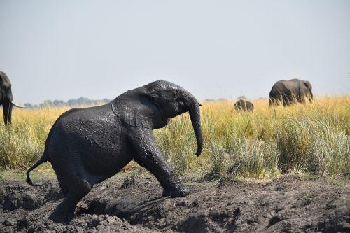 botswana elephant baby