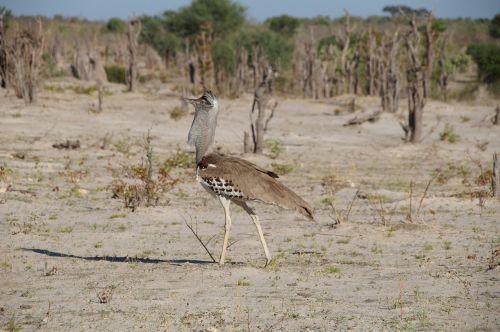 botswana kalahari africa