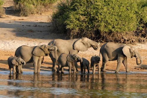 botswana elephant chobe