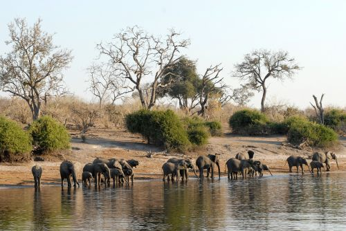 botswana herd of elephants chobe