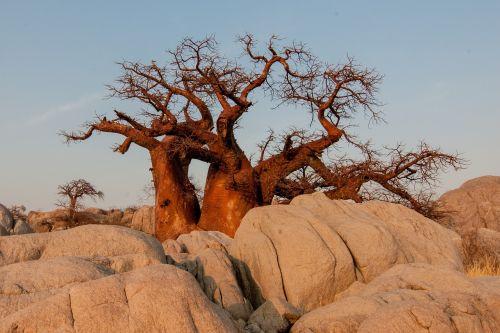 botswana baobab sunrise