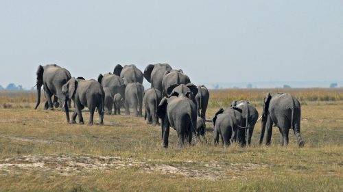 botswana chobe herd of elephants