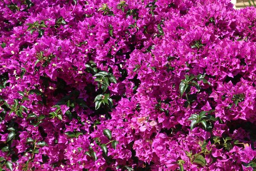 bougainville  purple  bougainvillea