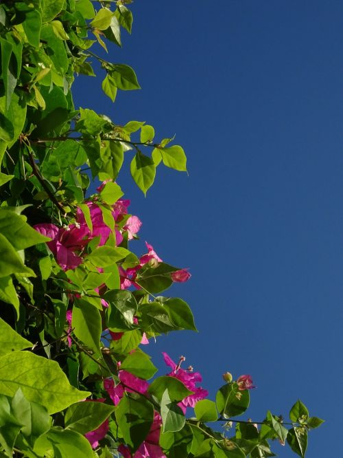 bougainvillea triple flower flower