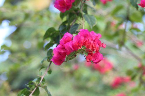 bougainvillea pink flowers flowering tree