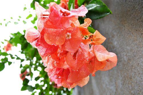 bougainvillea bougainvillea flowers flowers