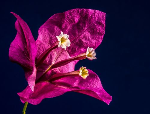 bougainvillea blossom bloom