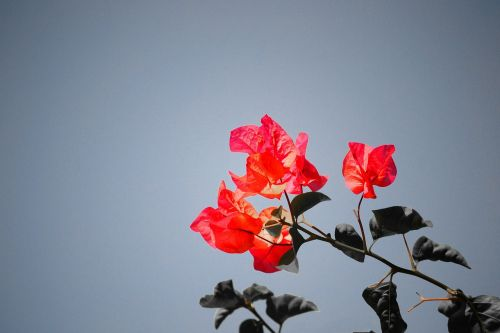 bougainvillea flower sri lanka