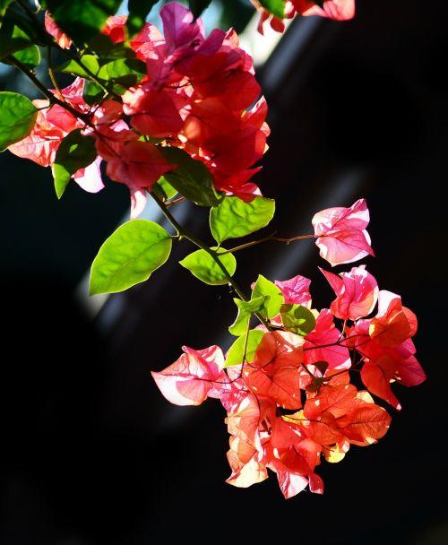 bougainvillea flowers blossoms