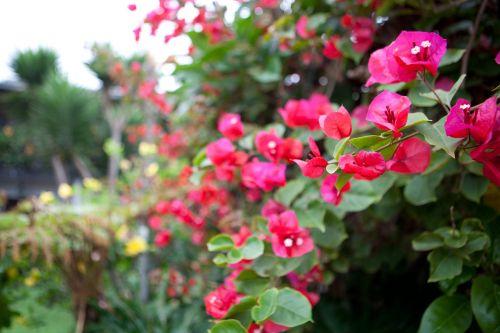 bougainvillea flower red
