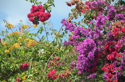 bougainvillea flower antigua